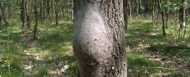 Oak Processionary Moth could threaten Oak Trees