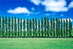 poplars could be next biofuel source