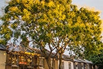 Trees Bringing Life to our Streets