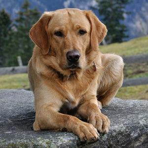 Best food for senior Labradors