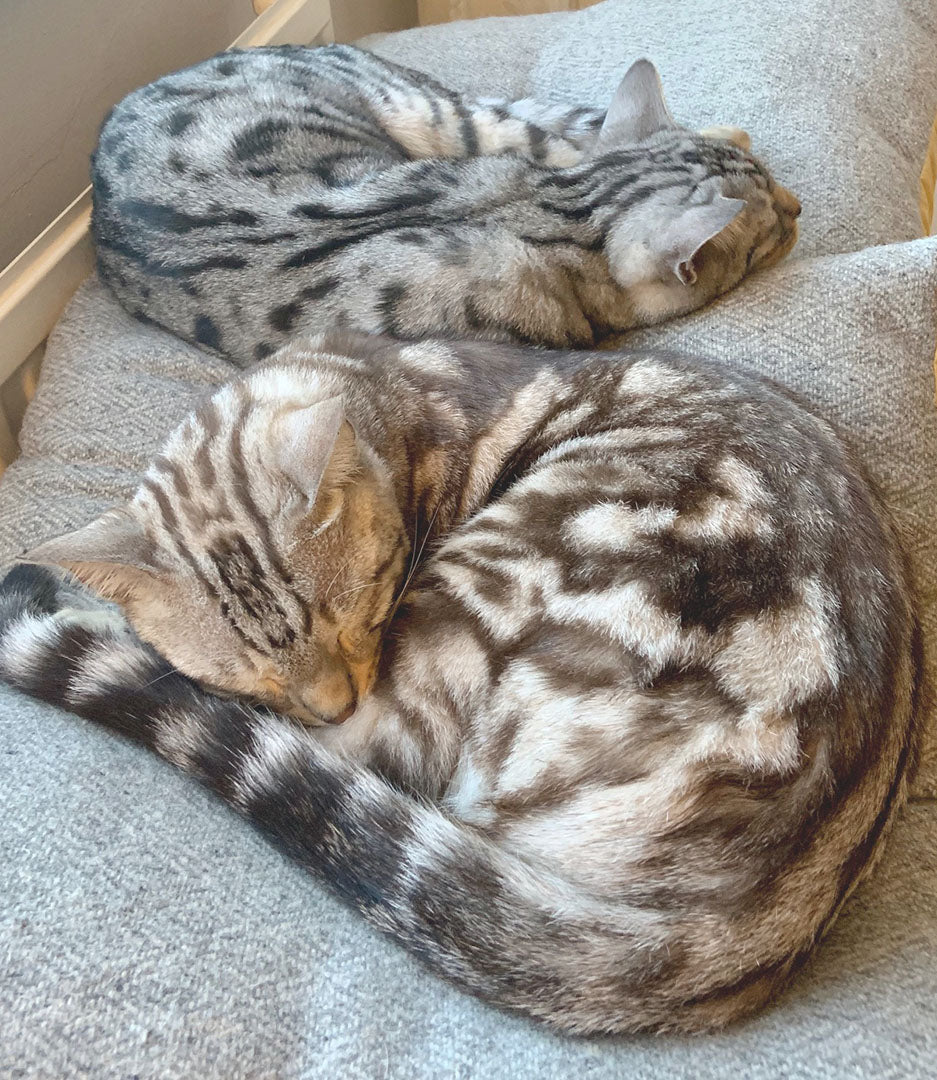 Bengal cats sleeping