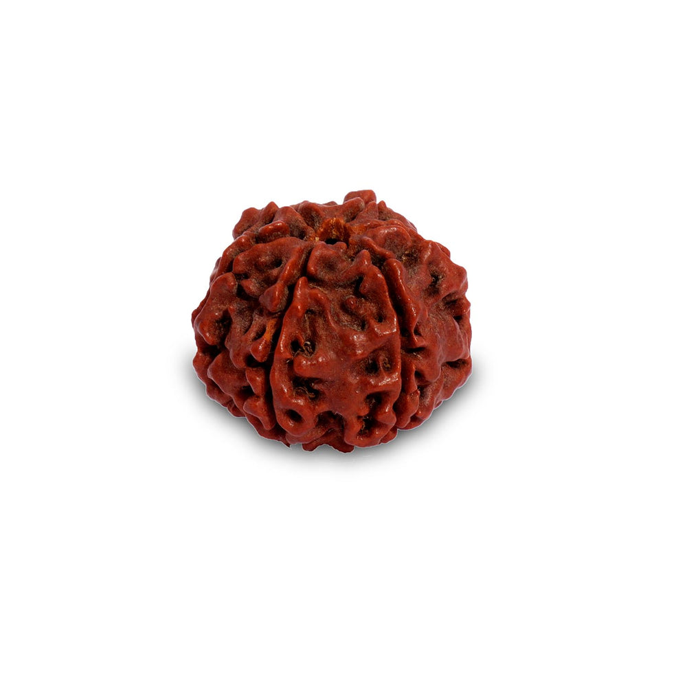 Rudraksha Beads Children's Shanmukhi, 6 Faced