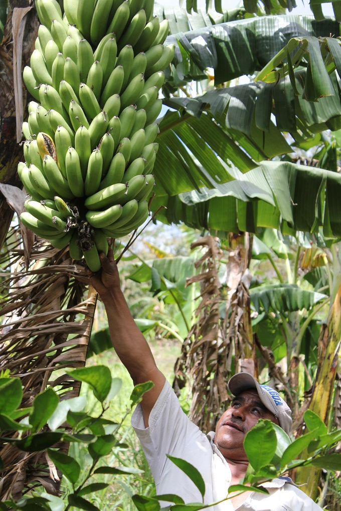 Proud farmer with bananas, from Fruit Tree Restoration Project