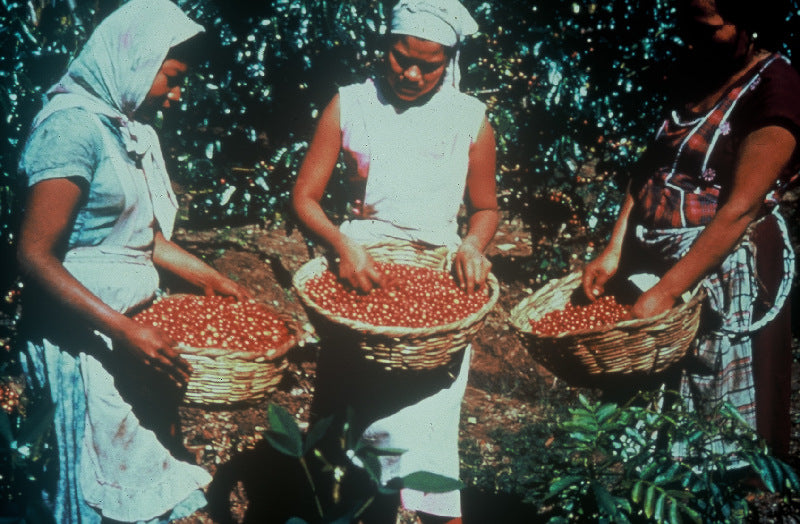 Mexican women holding baskets filled with coffee cherries