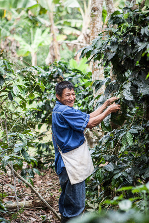 Smiling farmer with a blue shirt and white shoulder bag, inspecting a coffee plant