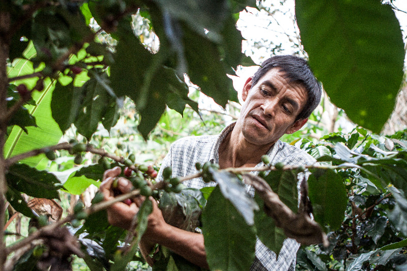 A farmer examining coffee cherries