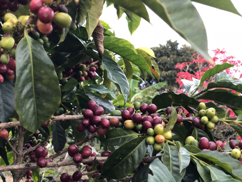 A close up photo of coffee cherries