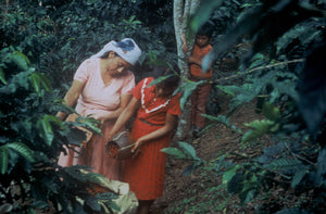 A farmer and a child filling a sack with coffee cherries; a young boy looks on