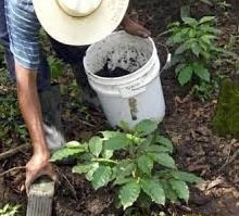 A farmer tending to coffee plants