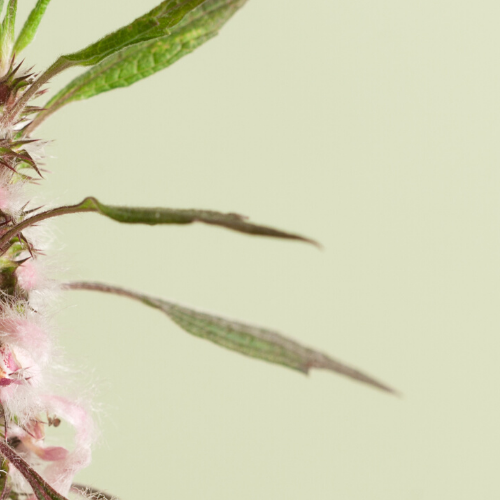 Motherwort: The Lion-Hearted Herb