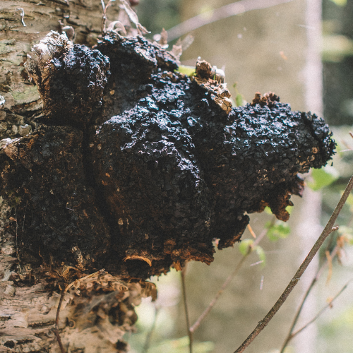 Getting to Know Chaga: The King of the Fungal Forest