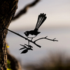 Metalbird Willie Wagtail