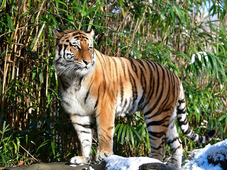 Bronx Zoo Tiger Just Tested Positive for COVID-19