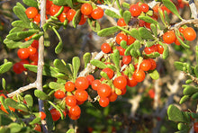 Load image into Gallery viewer, Lycium brevipes Baja Desert Thorn Plant 50 Seeds #Fruit