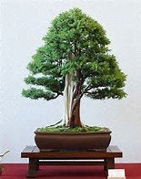 15 Seeds Common Juniper Tree (Juniperus communis) Good Bonsai #Tree