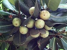 10 Seeds Mimusops obovata Coastal Red Milkwood Tree #Fruit