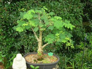 Acacia galpinii Monkey Thorn Tree (SEEDS) #Ornamental