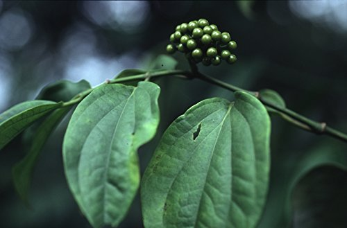 Piper Peepuloides Long Pepper Bush 50 Seeds #Fruit