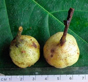 100 Seeds Ficus sp. Jungle Fig Tree