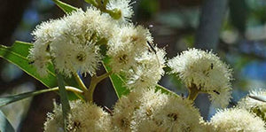 50 Seeds Broad Leaved White Mahogany - Eucalyptus Umbra