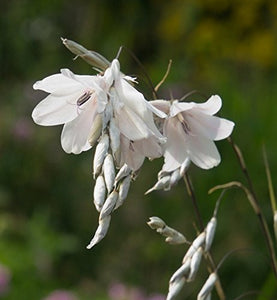 Dierama argyreum Angel's Fishing Rod Plant 25 Seeds #Ornamental