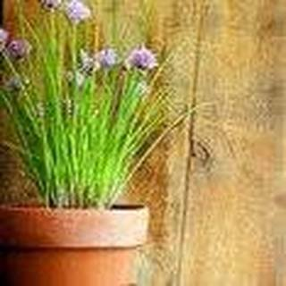 Allium schoenoprasum Herb Plant Wild Chives 100 seeds #Vegetable