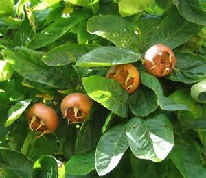 15 Seed Showy Mespilus, Medlar Mespilus germanica Tree #Fruit