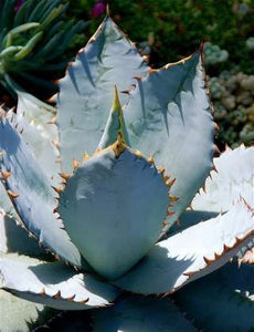10 Seeds Agave shrevei subsp. matapensis Mezcal Blanco, Lechuguilla Plant #Agave