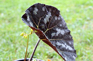 50 Seeds Begonia xanthina - Yellow Flowers #Ornamental