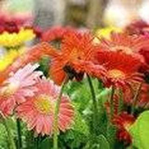 Gerber Daisy Gerbera jamesonii Flowering Plant 25 Seeds #Ornamental