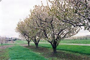 Sweet Cherry Fruit Tree Edible Sweet Cherry 12 Seeds #Fruit