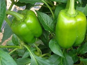 Capsicum annuum California Wonder 300 Pepper Plant 35 seeds #Vegetable