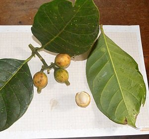 10 Seeds Coussarea latifolia Sweet Fruit Tree #Fruit