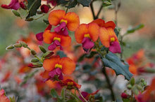 Load image into Gallery viewer, Chorizema Diversifolium Climbing Flame Pea 50 Seeds #Ornamental