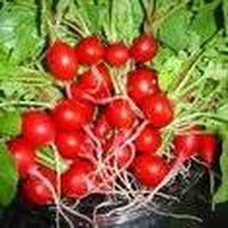 Raphanus sativus Cherry Belle Radish Garden Vegetable 300 Seeds #Vegetable