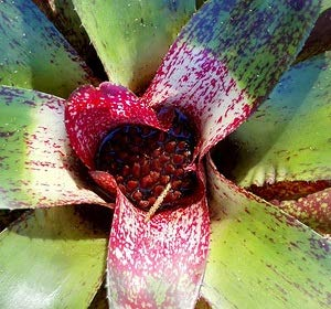 100 Seeds Neoregelia sp. Island Sunset - Red Spotted #Succulent
