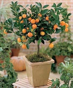 Citrus Mitis Calamondin-Minature Orange Tree 35 Seeds #Fruit
