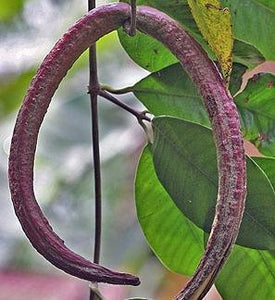 Cryptolepis dubia Indian Sarsaparilla Tree #Fruit (SEEDS)