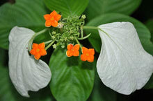 Load image into Gallery viewer, Mussaenda macrophylla Tropical Flowering Shrub 100 Seeds  #Ornamental