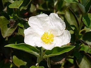 50 Seeds Cistus laurifolius - Laurel-Leaved Rockrose #Ornamental