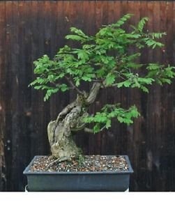 Robinia Pseudoacacia (Black Locust) Bonsai 25 Seeds #Tree