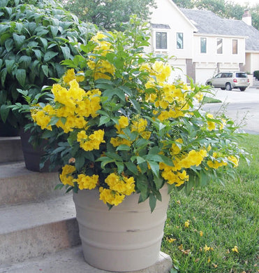 Tecoma stans Yellow Trumpet Bells Tree 25 Seeds #Ornamental