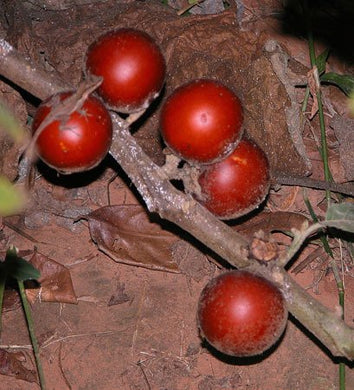10 Seeds Solanum sessiliflorum (Red Giant) Large Yellow Cocona Plant #Fruit