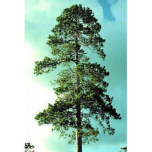 Load image into Gallery viewer, 15 Seeds Red Pine Tree (Pinus resinosa) #Tree