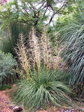 Load image into Gallery viewer, Nolina lindheimeriana Devil's Shoestring Ribbon Grass 10 Seeds #Ornamental