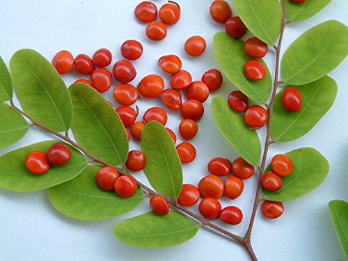 10 Seeds Adenanthera microsperma Small Coral Pea #Ornamental