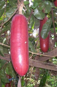 10 Seeds Sicana odorifera - Musk Cucumber - Chocolate Vine #Ornamental
