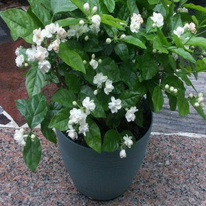 Jasmine Plant 25 Seeds Indoor/Outdoor Herbal Plant With Tiny White Flowers