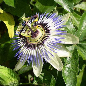 10 Seeds Passiflora auriculata - Rare and Unusual Fruiting Vines #Fruit