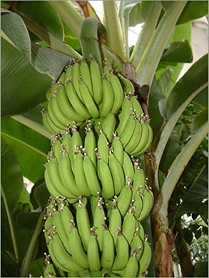 Musa Acuminata Fast Growing Banana Tree 25 Seeds #Fruit